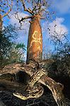 Dumeril's Ground Boa (Acrantophis dumerili) basking, with Baobab (Adansonia sp.) in rear. Ifaty spiny forest, south west Madagascar