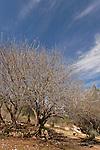 Israel, Jerusalem Mountains. Terebinth tree (Pistacia Palaestina) in Ein Kobi