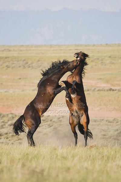 Mustang Horse (Equus caballus), stallions fighting, Pryor Mountain Wild Horse Range, Montana, USA