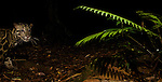 Bornean Clouded Leopard (Neofelis diardi borneensis) in lowland rainforest at night, Tawau Hills Park, Sabah, Borneo, Malaysia