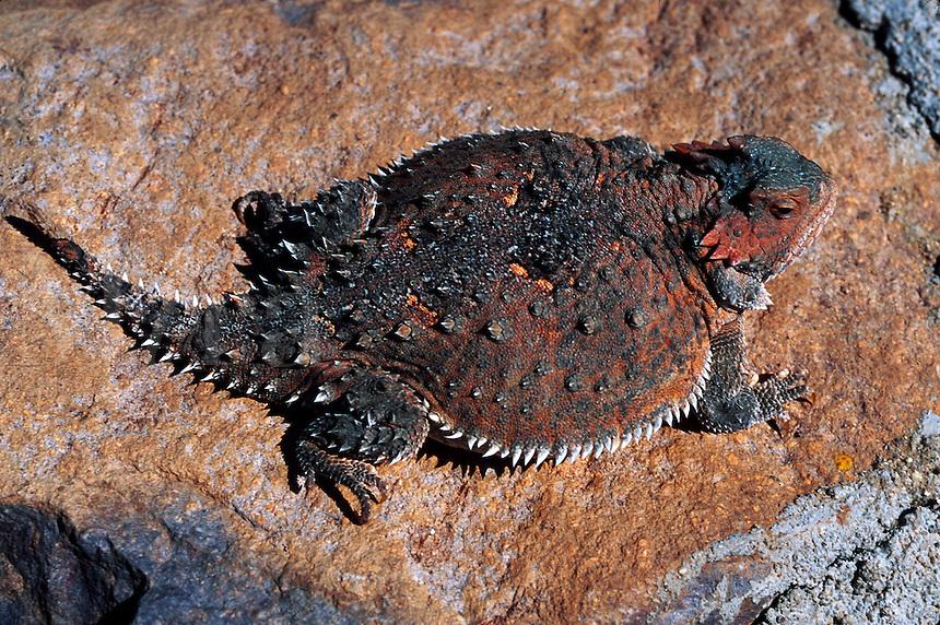 A Short-horned lizard (Phrynosoma douglassi - family Iguanid). Arizona.