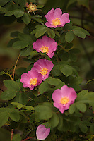"""Wild Roses""<br />