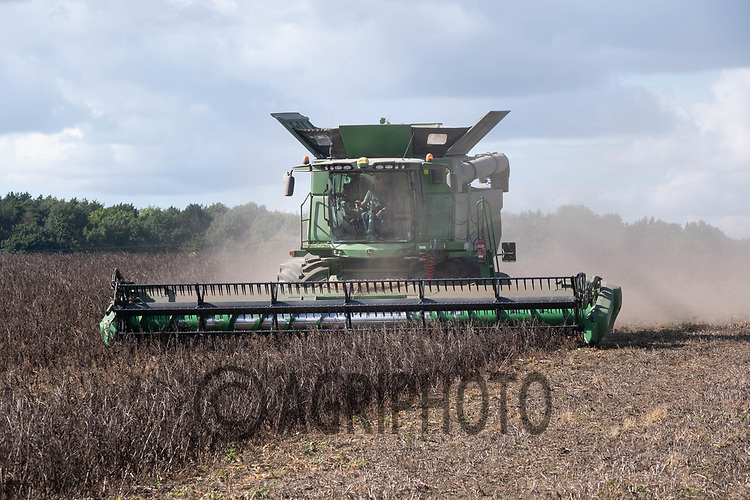 4.9.2020 Harvesting Beans in Lincolnshire<br /> ©Tim Scrivener Photographer 07850 303986<br />      ....Covering Agriculture In The UK.