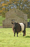 Belted Galloway heifer in front of a stone barn in County Durham.
