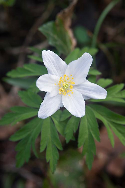 Wood anemone (Anemone nemorosa), early April.