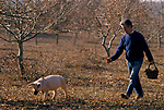 Truffling in Cahors France 1990s. French farmer used a pig to smell out the truffles on bis land. They will be sold onto Jacques Pedeyre Frances largest truffle dealer and exporter.