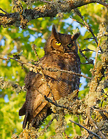 Gift card photo of a Great Horned Owl (Bubo virginianus) is sitting on a tree branch with the setting sun shining on him and yellow eyes looking at viewer in the Ridgefield National Wildlife Refuge