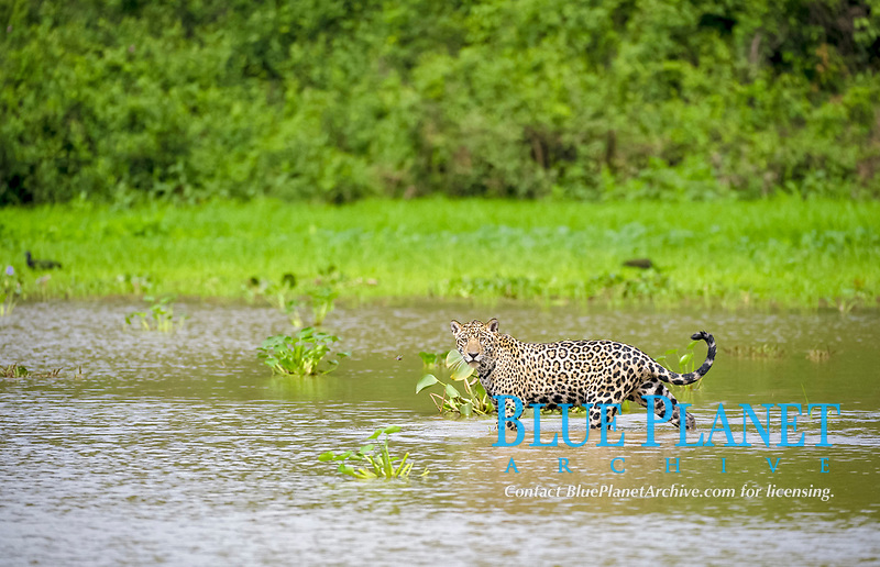Jaguar (Panthera onca palustris) adult, in river habitat, Cuiaba River, Mato Grosso, Brazil, South America