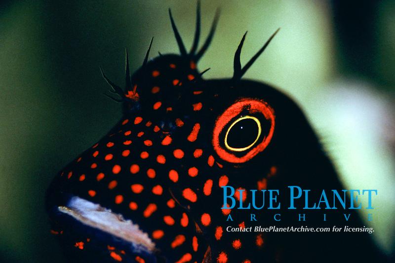 spotted eyelash-blenny, Cirripectes springeri, Mabul Island, Bomeo, Malaysia, Indo-Pacific Ocean