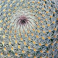 "Mammillaria Cactus - Canvas Giclée Print, 32"" x 32"" - $650"