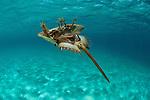 Prehistoric horseshoe  crabs (Tachypleus gigas) swimming on its back . Gills doing the propulsion.