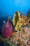 Red Whip Coral (Ellisella cercida), and yellow gorgonian, Raja Ampat