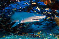 Sand Tiger Shark (Carcharias taurus) on the wreck of the Schurz in the Outer Banks of North Carolina, USA, Atlantic Ocean In Australia and South Africa, this protected and endangered species is known as the Grey Nurse and Ragged Tooth, respectively.