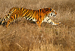 Tiger running in grass. (captive)