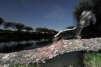 Striped Skunk (Mephitis mephitis), adult at night walking on log, Laredo, Webb County, South Texas, USA
