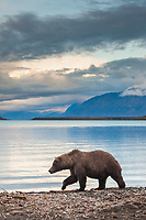 Brown bear walks along the shore of Naknek lake, Katmai National Park, southwest, Alaska.