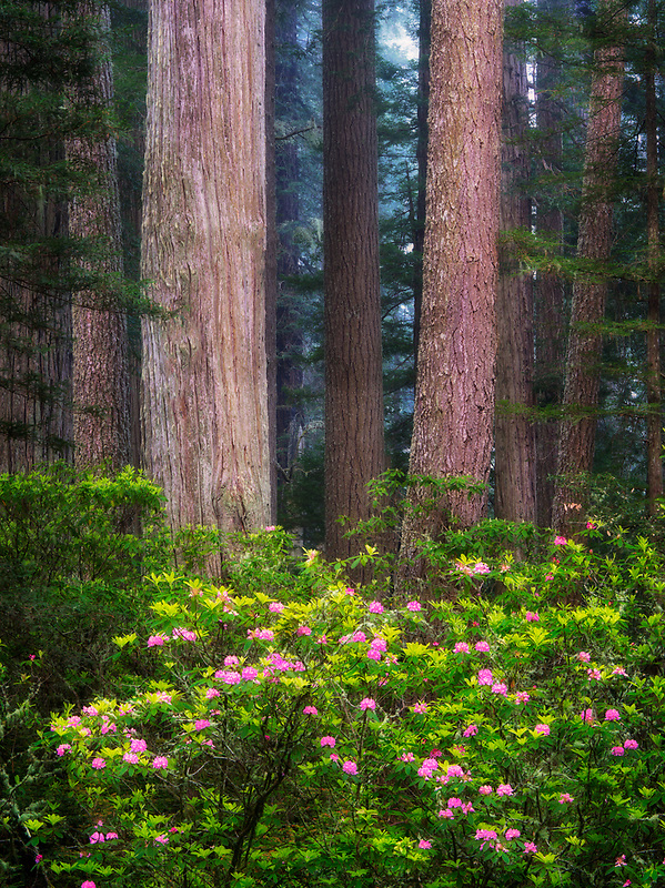 Redwood trees and blooming rhododendrons. Redwood National Park, California