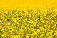 A field of flowering rape blossoms in spring in the Oxfordshire Cotswolds.