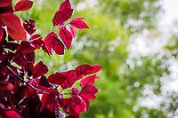 Red leaves, glowing with backlight, stand against a soft green background of nearby trees at an urban neighborhood park.