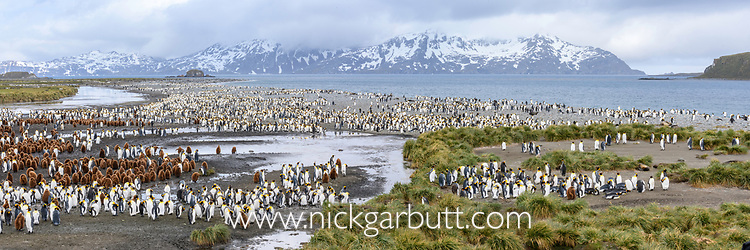 Colony of adult and juvenile king penguins (Aptenodytes patagonicus), Salisbury Plain, South Georgia, South Atlantic.