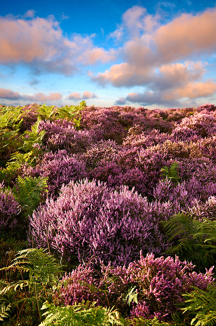 Heather flowering.  North Yorks National Park, North Yorkshire, England