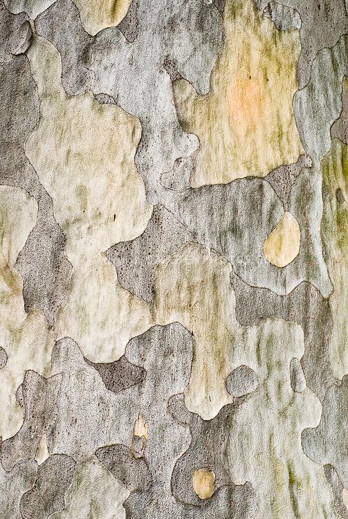 Pinus bungeana, bark detail of pine tree trunk