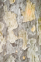 Pinus bungeana, bark detail of pine tree trunk