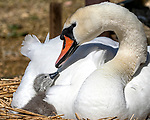 Feathered pillows are always the best. Touching moment between mum and cygnet by Keith Ogden