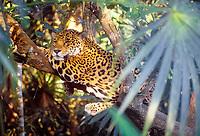 jaguar, Panthera onca, resting on a tree, Pantanal, Mato Grosso do Sul, Brazil