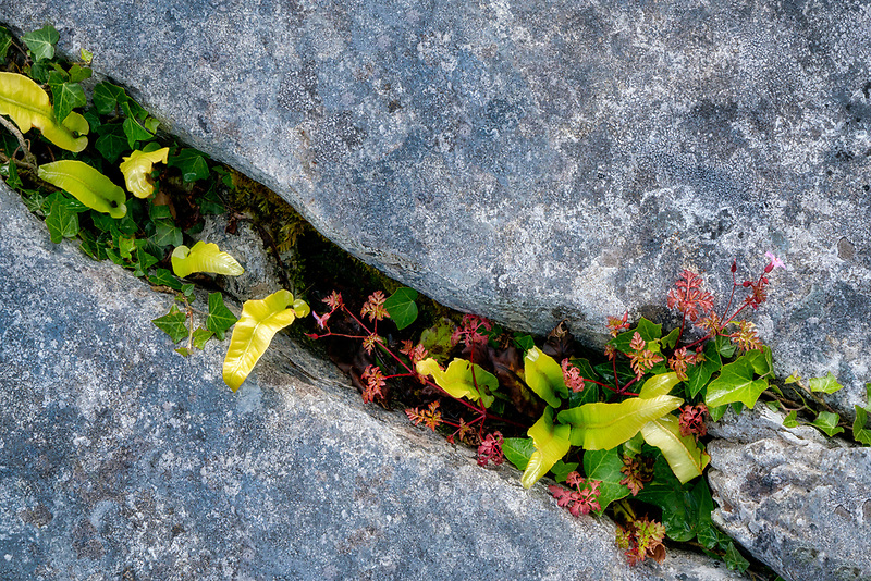 Hart's Tongue fern (Asplenium scolopendrium) and Herb Robert wildflowers with red leaves growing in Karst limestone. The Burren, County Clare, Ireland