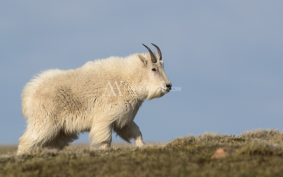 We had what was probably my best mountain goat shoot to date up on the Beartooth Pass.