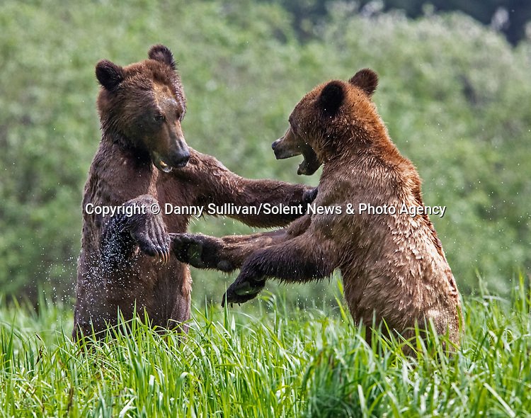 Sequence 6 of 9:  Young bears look like they're dancing as they play fight in the morning sun.  The two animals had just swum across an inlet in the Khutzeymateen Grizzly Bear Sanctuary in Canada's British Colombia when they indulged in some horseplay.<br /> <br /> The images were captured by amateur wildlife photographer Danny Sullivan.  SEE OUR COPY FOR DETAILS.<br /> <br /> Please byline: Danny Sullivan/Solent News<br /> <br /> © Danny Sullivan/Solent News & Photo Agency<br /> UK +44 (0) 2380 458800
