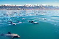 hectors dolphin, Cephalorhynchus hectori, Kaikoura, New Zealand, Pacific Ocean