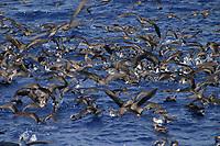 bird flock, Cory's Shearwater, Calonecctris diomedea borealis, Azores Islands, Portugal, North Atlantic