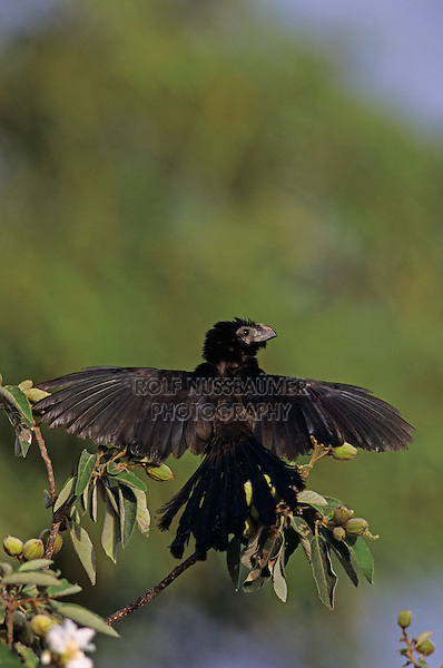 Groove-billed Ani, Crotophaga sulcirostris, adult sunbathing on Mexican Olive Tree, The Inn at Chachalaca Bend, Cameron County, Rio Grande Valley, Texas, USA