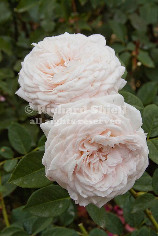 ROSA 'MAGNIFICENT PERFUME', MODERN SHRUB ROSE, BAKERSFIELD