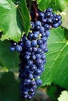 grapes, Finger Lakes, NY, New York, Cayuga Lake, Close-up of red grapes growing on a vine in the wine growing region of the Finger Lakes.