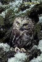 OW02-070z  Saw-whet owl - sitting on snow covered branch - Aegolius acadicus
