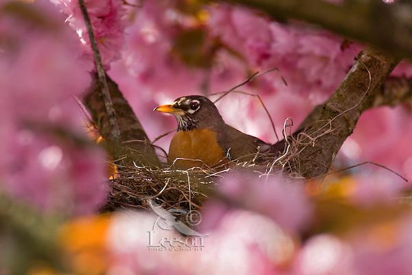 American Robin (Turdus migratorius) nesting in flowering plum tree.