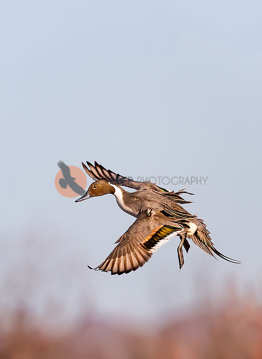 Male Northern Pintail, landing with feet down