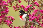 Rose-breasted grosbeak - male