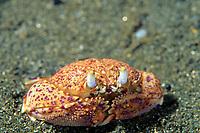 shamefaced crab, Cycloes granulosum, Izu ocean park, Sagami bay, Izu peninsula, Shizuoka, Japan, Pacific Ocean