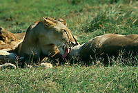Lioness  licks her cub in the afternoon sun, Kenya