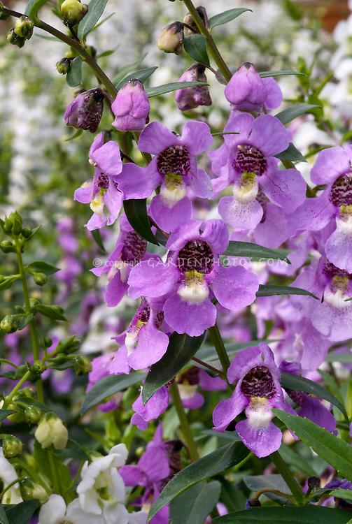 Angelonia Serena Lavender Pink