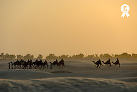 Tunisia, Douz, Sahara Desert, tourists on camel ride at sunset (Licence this image exclusively with Getty: http://www.gettyimages.com/detail/sb10065474co-001 )