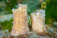 rough piddock clam, Zirfaea pilsbryi, Bainbridge Island, Puget Sound, Washington, USA, Salish Sea, Pacific Ocean