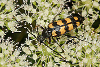 Vierbindiger Schmalbock, Halsbock, Schmal-Bock, Hals-Bock, Blütenbesuch, Leptura quadrifasciata, Strangalia quadrifasciata, Four-banded Longhorn Beetle