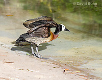 0313-1005  White-faced Whistling Duck Spreading Wings, Dendrocygna viduata  © David Kuhn/Dwight Kuhn Photography.
