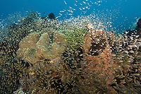 Coral reef with Golden sweepers, Parapriacanthus ransonneti, Lembeh, North Sulawesi, Indonesia,