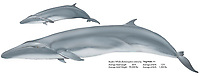 Bryde's whale, Balaenoptera edeni, cow and calf, illustration by the artist Wyland